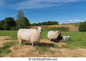 White sheep with lamb - White sheep with young white lamb