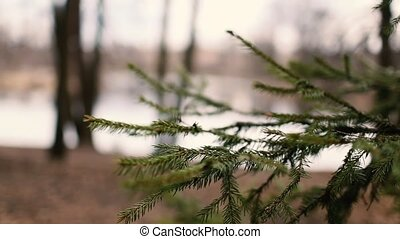 Green spruce spring in the woods