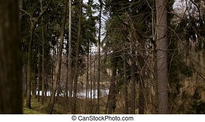 Forest with tall pine trees - Forest with centuries-old pine...