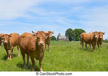Limousin cows in France - Limousin cows in landscape with...