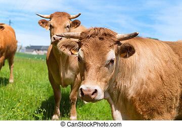 Limousin cows in landscape - Cattle Limousin cows in green...