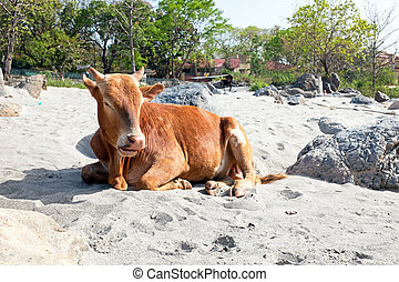 Cow on the beach at the river Ganges in India