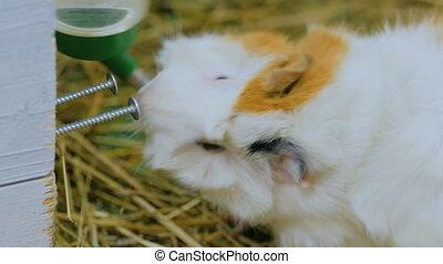 Guinea pig drinking in zoo - Guinea pig drinking in contact...