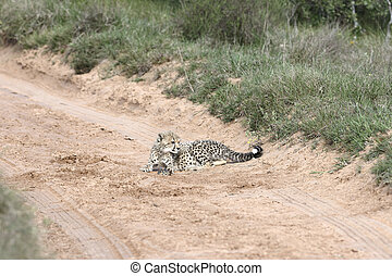 Cheetah, Addo Elephant National Park, Eastern Cape, South...