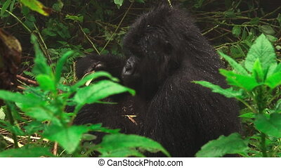Mountain gorilla zooming to face closeup feeding in the...