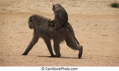 Super slow motion of baboon mom and baby walking - Baboon...