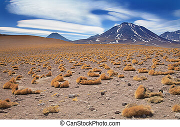 altiplano grass paja brava close to volcano Miscanti, desert...