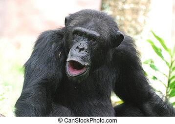 かわいい, 彼の, の上, チンパンジー,  Puckering, 唇