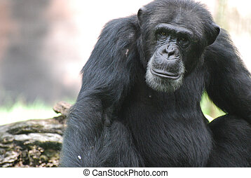 Beautiful Look at a Chimpanzee with a Solemn Look on His Face