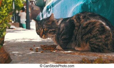Stray Gray Cat Eats Cat Food on the Street - Stray Gray Cat...