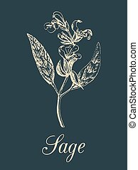 Vector sage illustration in engraving style. Hand drawn botanical sketch of culinary herb. Spice plant salvia isolated