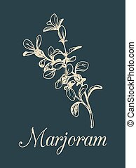 Vector marjoram illustration isolated. Hand sketched...