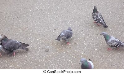 Pigeons on the asphalt