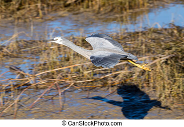 Glide Over - Wingspan of White-face heron as it glides over...