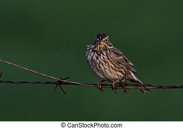 yellowhammer in the evening sun