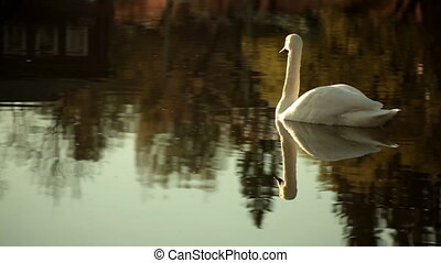swan swims on the lake