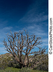 Gnarly Dried Tree in Mojave Desert with blue sky copy space
