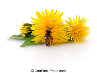 Honeybee and yellow flower head isolated on a white...
