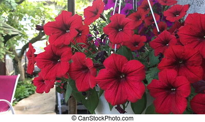 red flowers in a pot - close up of a lot beautiful red...