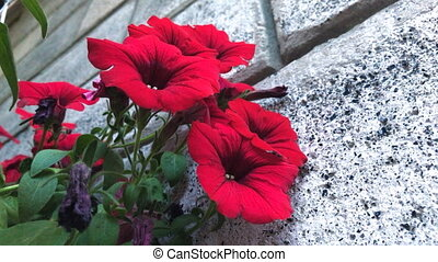 red flowers in a pot - close up of red nice flowers in a pot