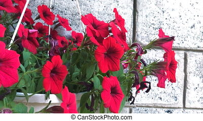 red flowers in a pot - close up of Charming red flowers in a...
