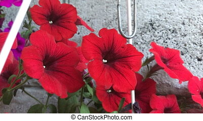 red flowers in a pot - close up of red charming flowers in a...