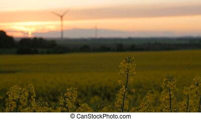 Rape field - sunset with wind turbine. Rack focus.