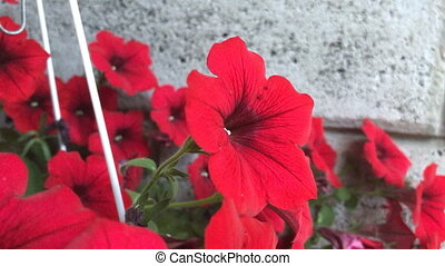 red flowers in a pot - close up of red flowers in a pot