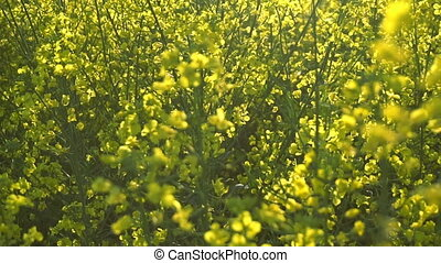Flowering rapeseed field. Slow motion - Flowering rapeseed...