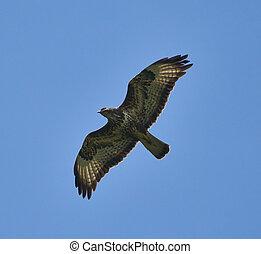 Hawk gliding on clear sky - A large hawk gliding on clear...