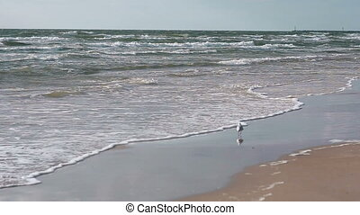 A cute white and grey sea gull is walking on a sandy beach....