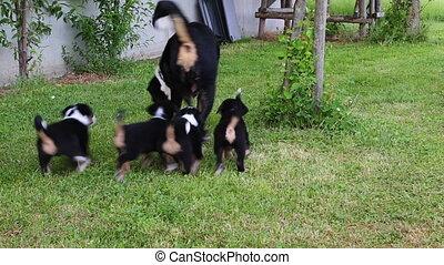 Appenzeller Senner nursing her puppies in the garden -...