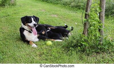 Appenzeller Senner nursing her puppies in the garden