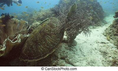Sea turtle under water. - Sea turtle between corals...