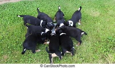 Appenzeller Senner puppies during feeding in the garden