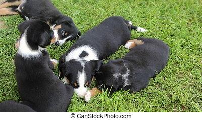 Tired Appenzeller Senner puppies in the garden