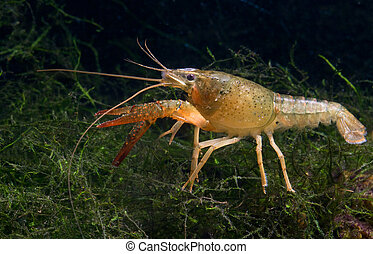 Crayfish - Crawfish in aquarium, natural lighting