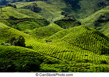 Cameron Highland Tea Plantation - Tea plantation in cameron...