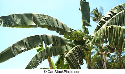 Fruits of bananas on a banana tree. - Green bananas on a...