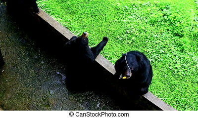Large Black Bears Walk in Open-air Cage in Tropical Zoo -...
