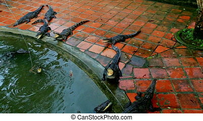 Crocodile Eats from Tourist Rod on Breeding Farm in Vietnam...