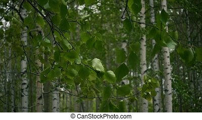 Slow mo. Birch forest branches with leaves tremble in the...