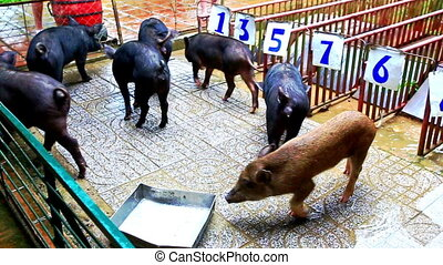 Black Pigs in Cage at Start Line Ready to Race for Tourists...