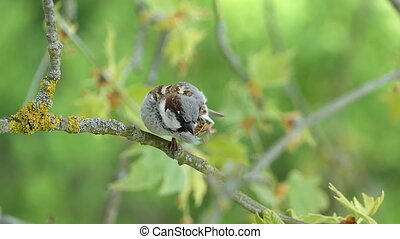 House Sparrow Chirping - House Sparrow Sitting On A Branch...