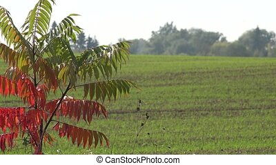 Autumn tree red color leaves and winter crops of grain in...