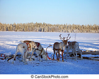 reindeer group - group of reindeer in lapland