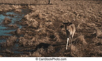 Little deer walks on a safari near water in autumn day. Brown fawn approach the car, the hand feeds an animal.