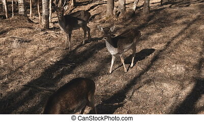 Little deer walks in the forest in autumn day. Brown fawn feeding on the field, grazed on a meadow.