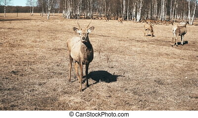 Cute little fawn standing on the field and chewing. Herd of...
