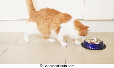 cat running to bowl and eating - red fluffy cat running to...